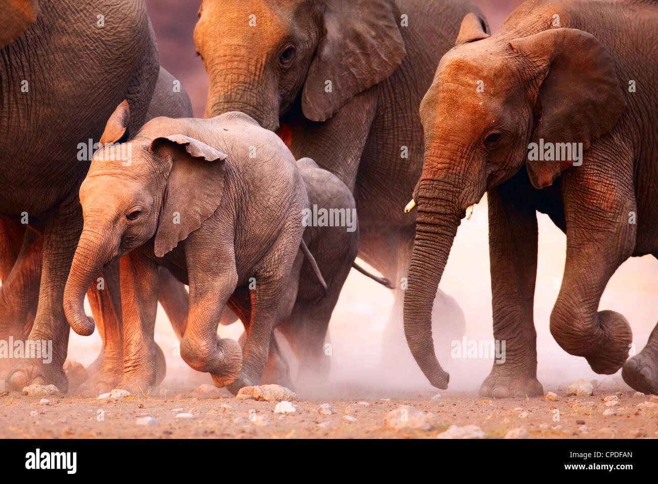 Una mandria di elefanti in corsa nel deserto di Etosha Immagini Stock