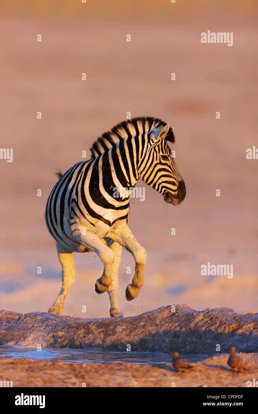 Zebra salta fuori di waterhole; Etosha; Equus burchell's Immagini Stock