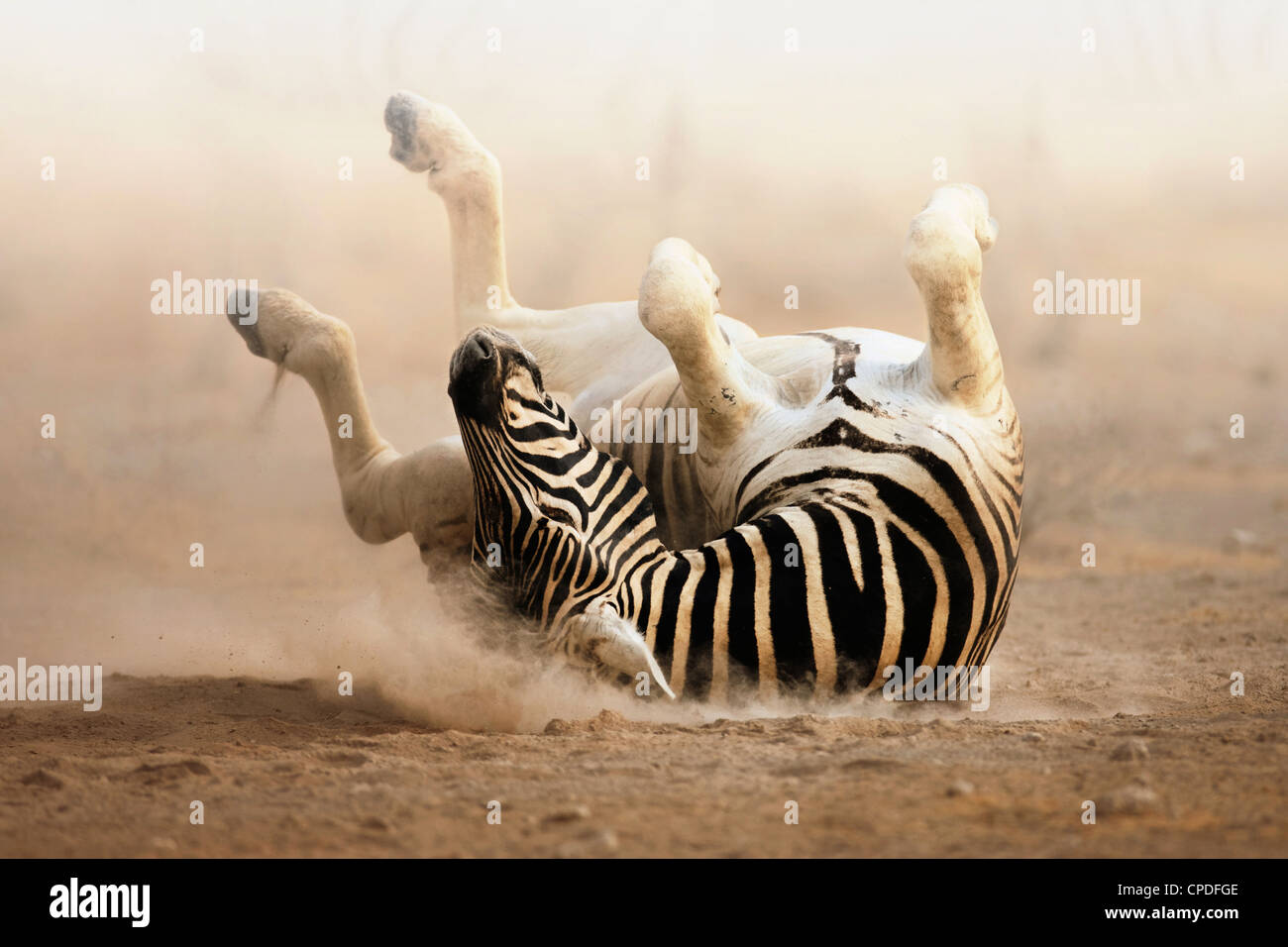 Zebra rotolamento su polverosi sabbia bianca; Etosha Immagini Stock