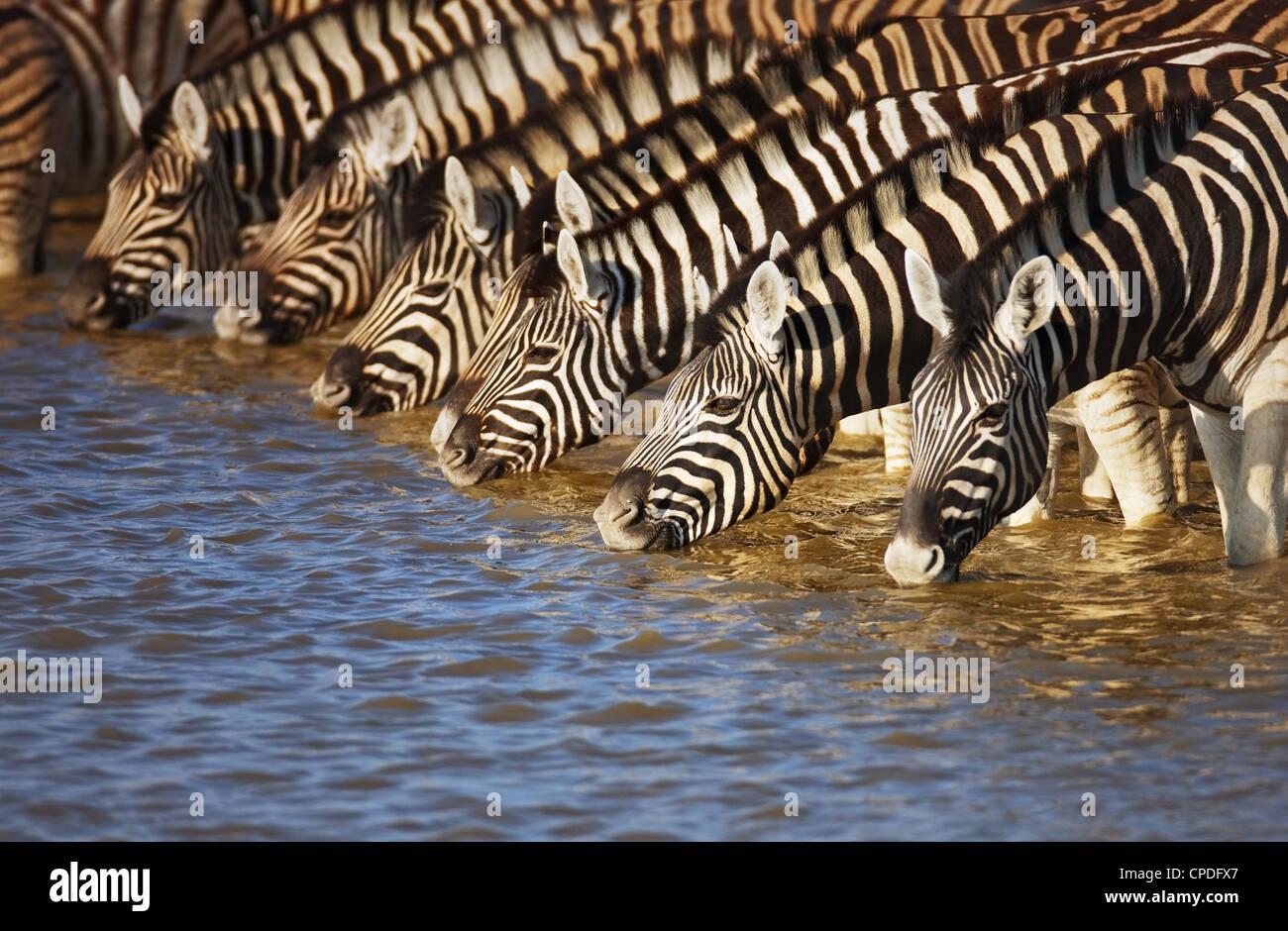 Mandria di zebre acqua potabile in Etosha; Equus burchell's Immagini Stock