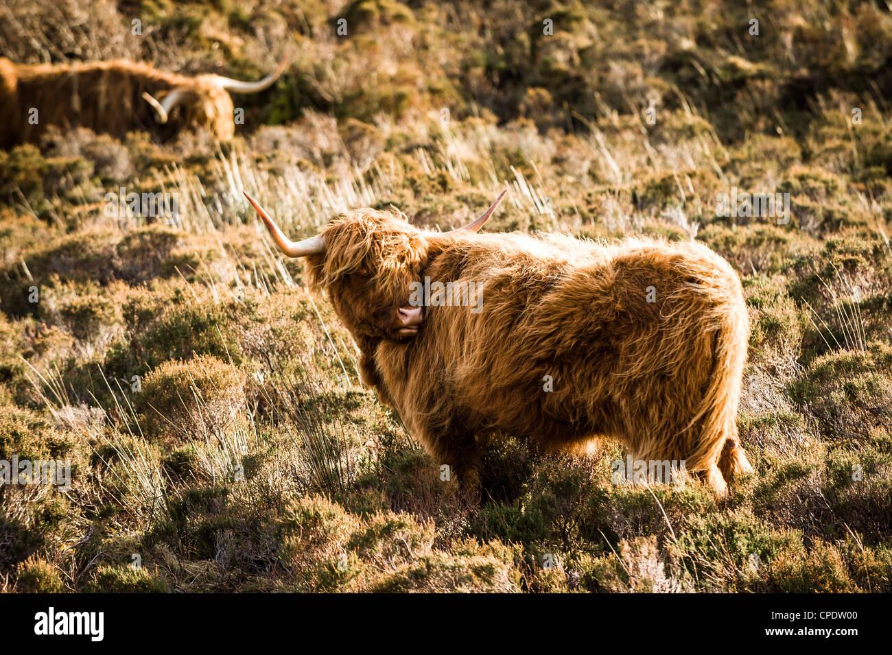 Highland bovini aventi un graffio sulla isola di Skye in Scozia Immagini Stock