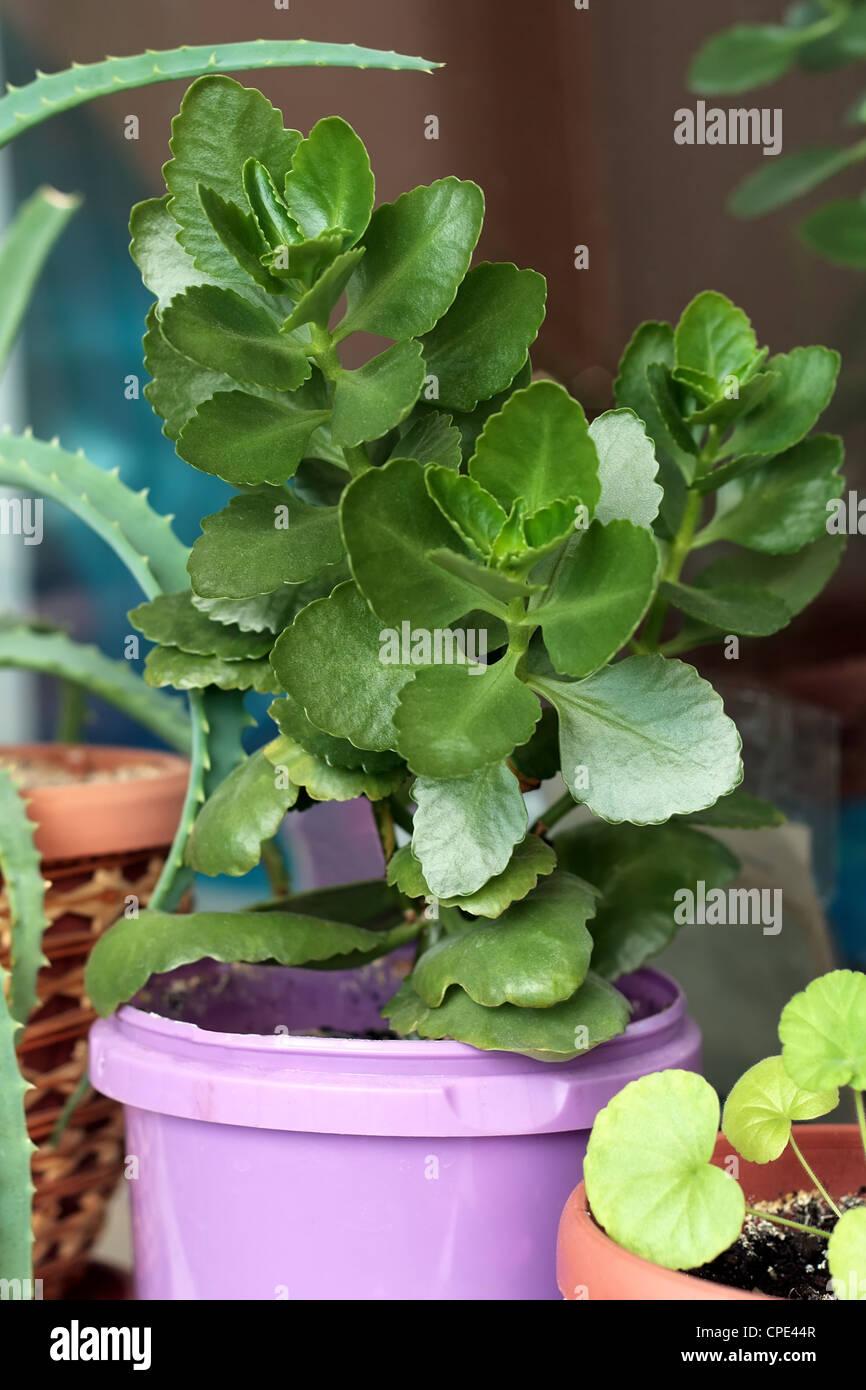 La purificazione di aria, coltivare, la flora, il vaso di fiori, fogliame, giardinaggio, verde, verde, crescendo, Immagini Stock