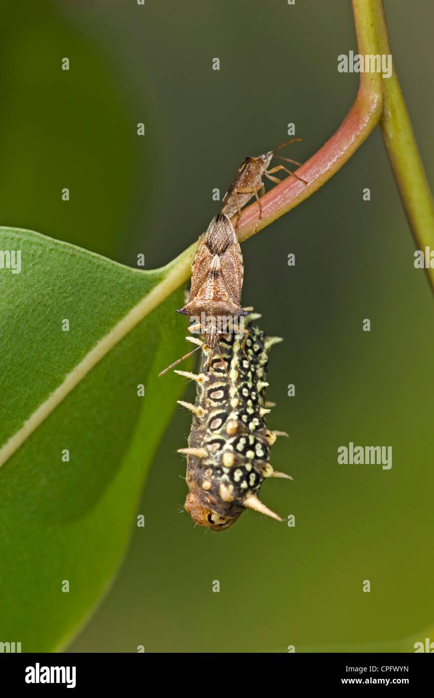 Coniugata coppia di predatori bug di protezione alimentazione su nero slug cup moth larva Immagini Stock