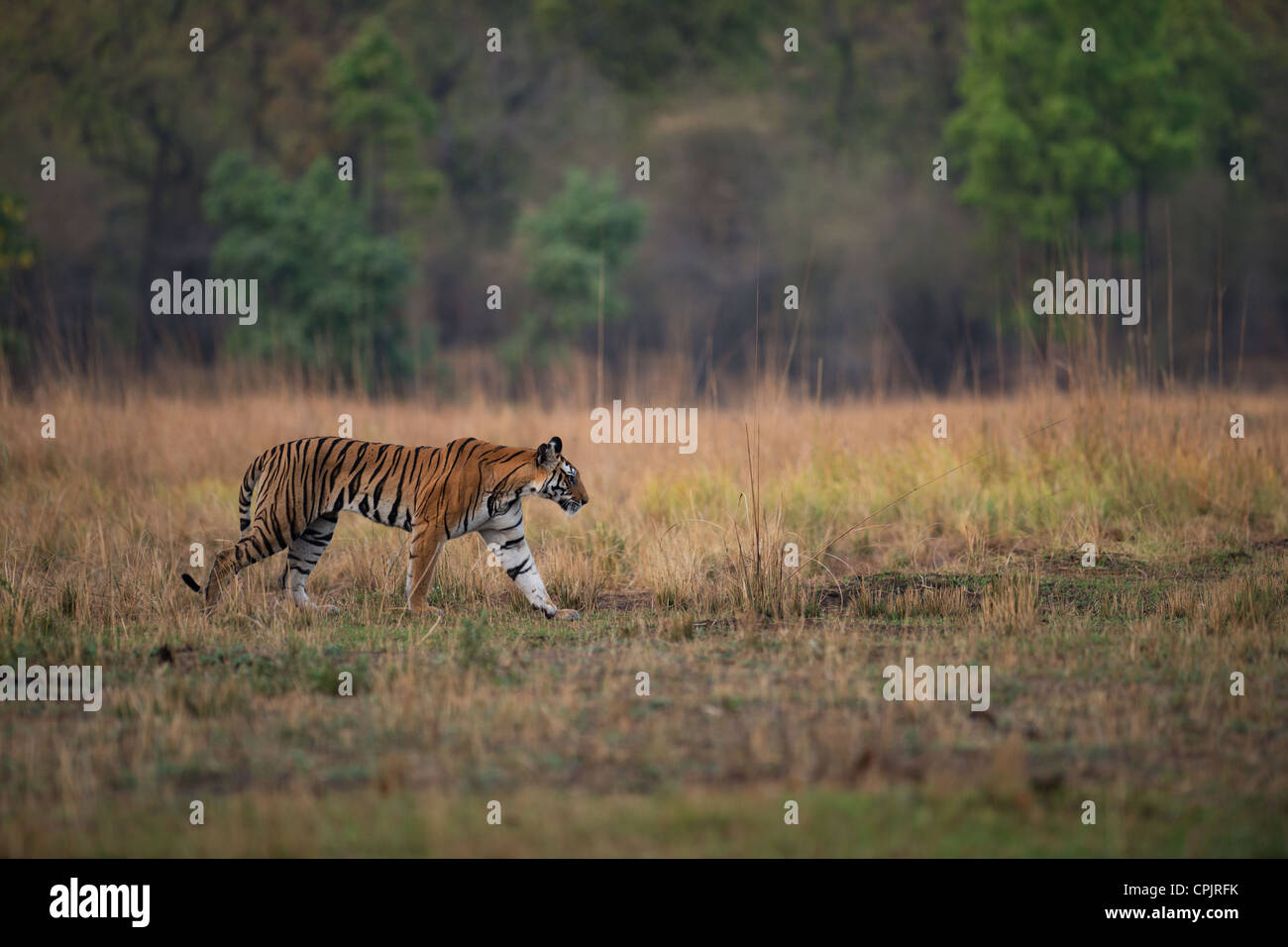 Adulto tigre del Bengala camminare su un prato aperto in Bandhavgarh Parco Nazionale e Riserva della Tigre, India Immagini Stock