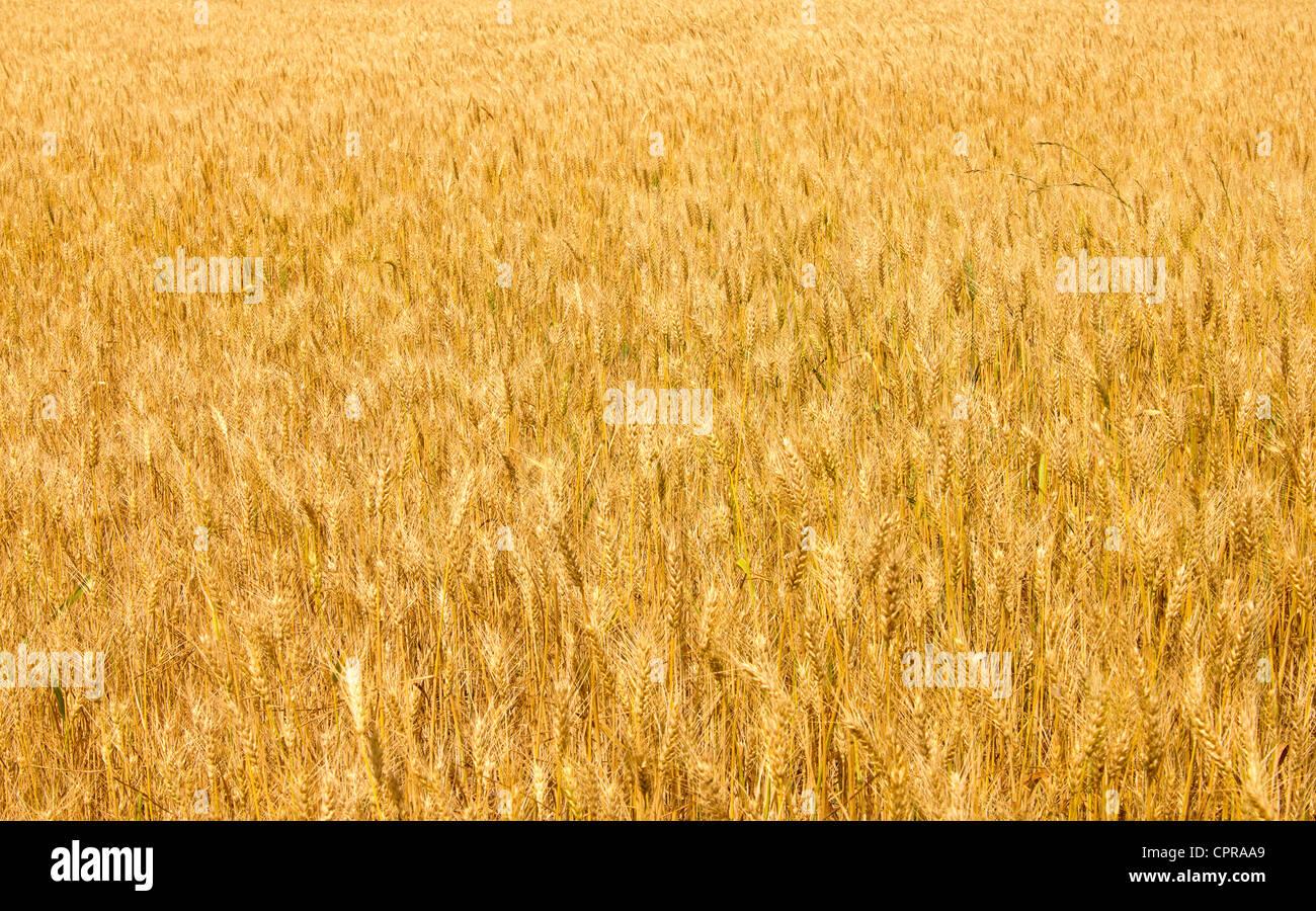 Campo di grano Immagini Stock