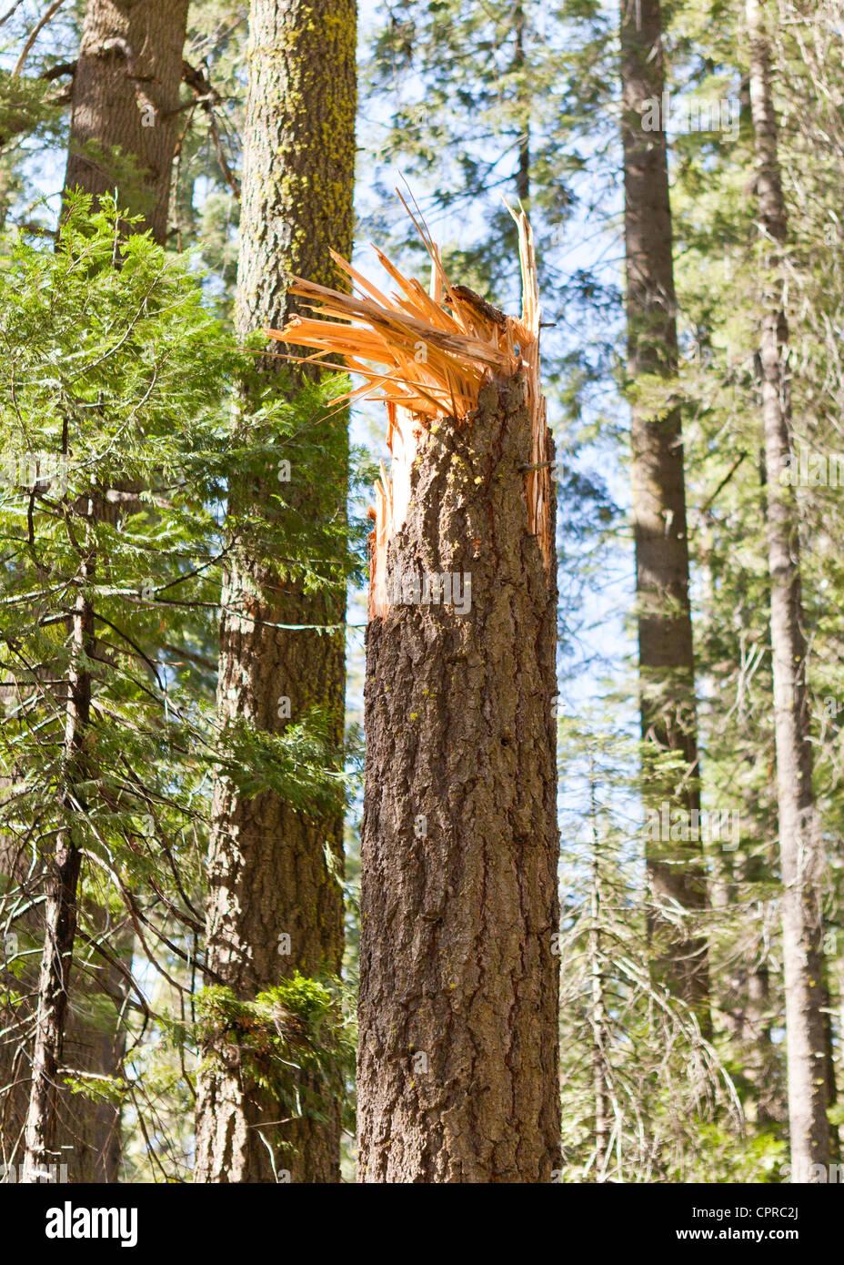 Rotture di tronco di albero a causa di forti venti Immagini Stock
