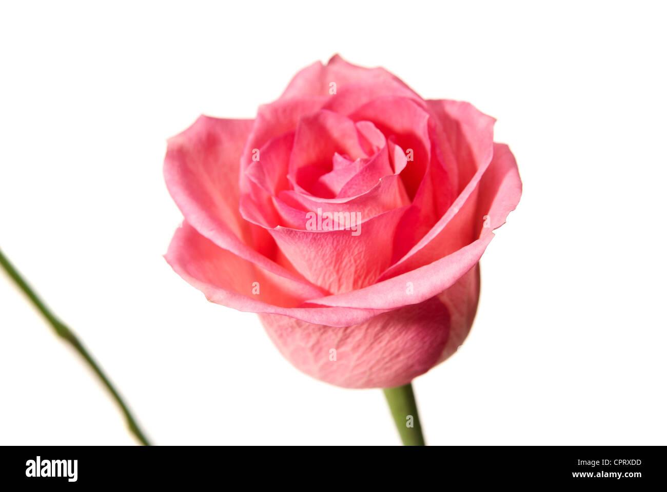 Studio shot di rosa rosa isolato su sfondo bianco. Immagini Stock