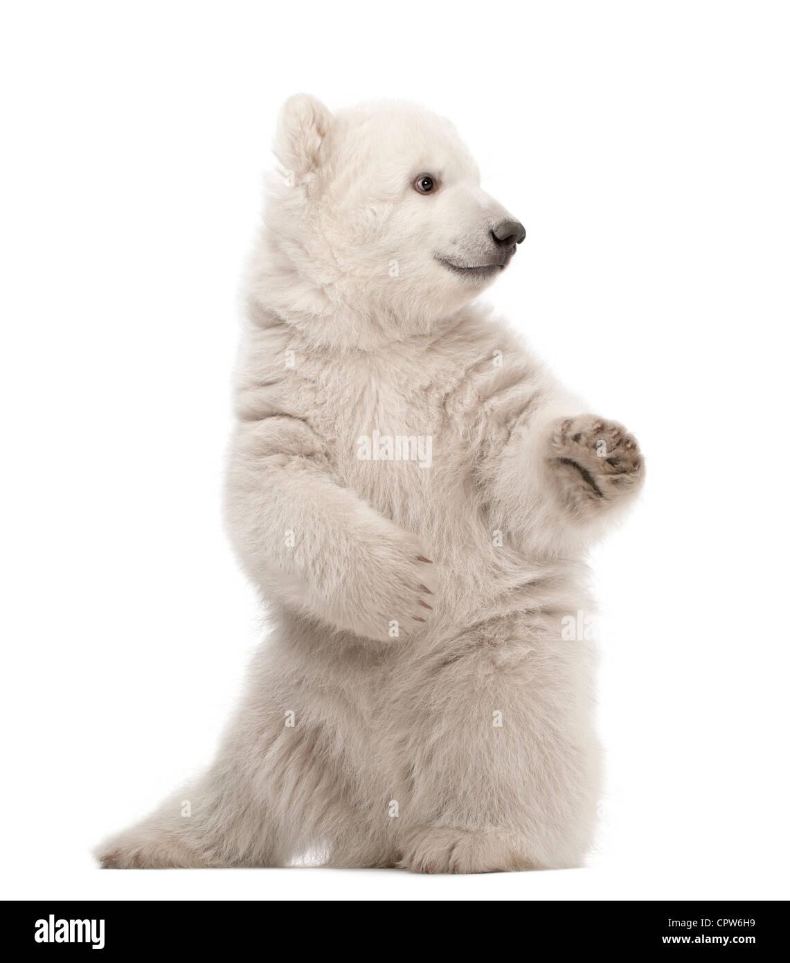 Polar Bear Cub, Ursus maritimus, 3 mesi di età, sulle zampe posteriori contro uno sfondo bianco Immagini Stock