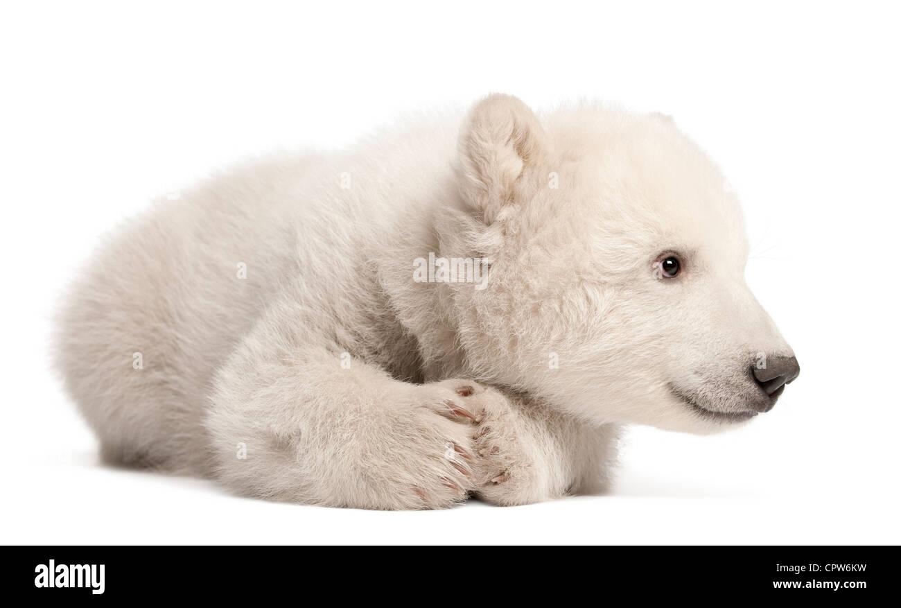 Polar Bear Cub, Ursus maritimus, 3 mesi di età, contro uno sfondo bianco Immagini Stock