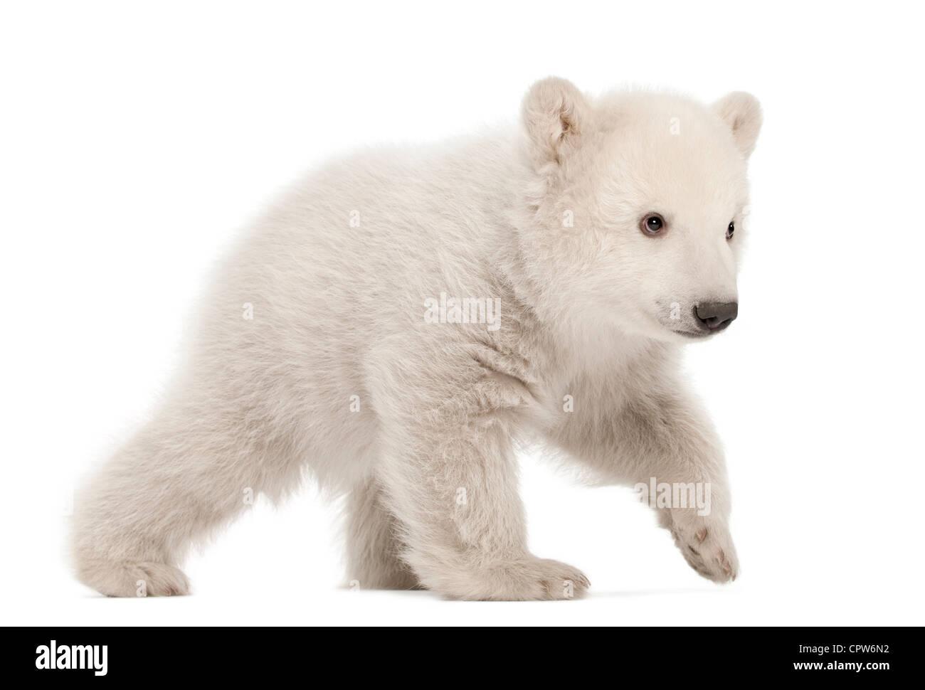 Polar Bear Cub, Ursus maritimus, 3 mesi di età, passeggiate contro uno sfondo bianco Immagini Stock