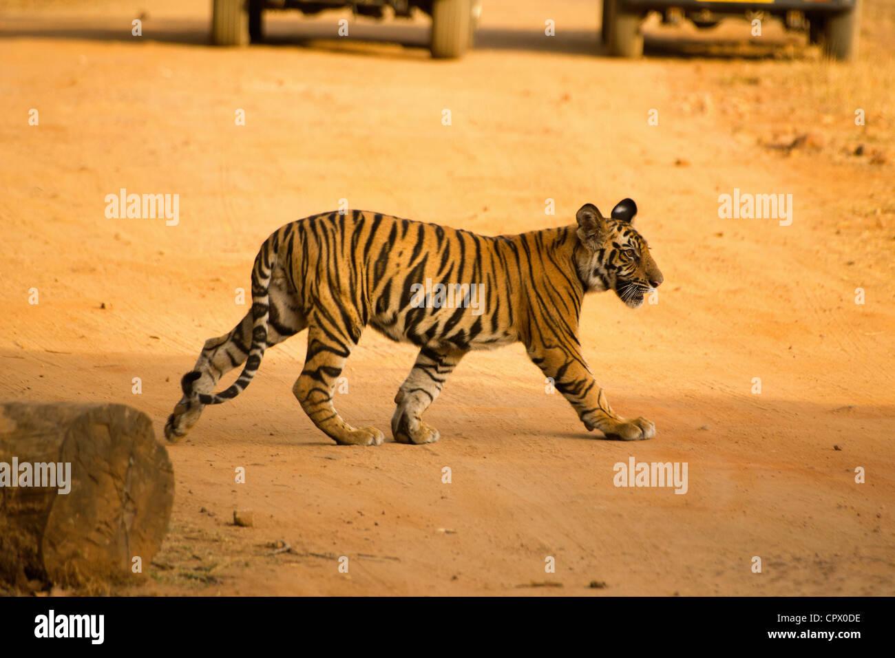 Cub di una tigre chiamato Kankati attraversando la strada a Siddh Baba prati in Bandhavgarh riserva della tigre. Immagini Stock