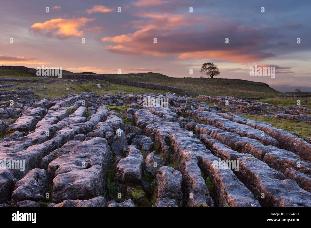 Una pavimentazione di pietra calcarea su Malham Moor all'alba, Yorkshire Dales, England, Regno Unito Immagini Stock
