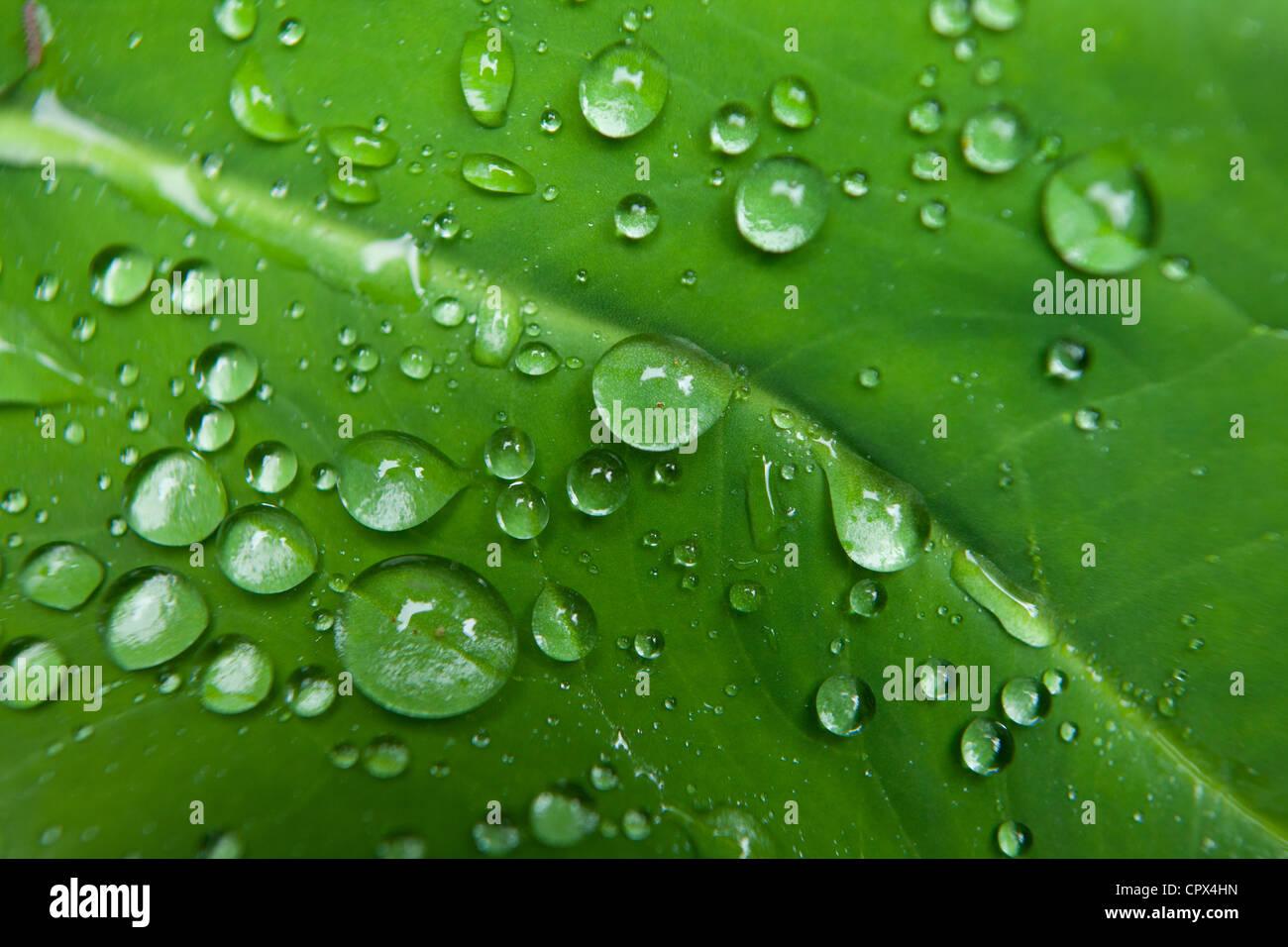 Waterdroplets sulle foglie nella foresta pluviale a Casaroro Falls, nr Dumaguete, Negros, Filippine Immagini Stock