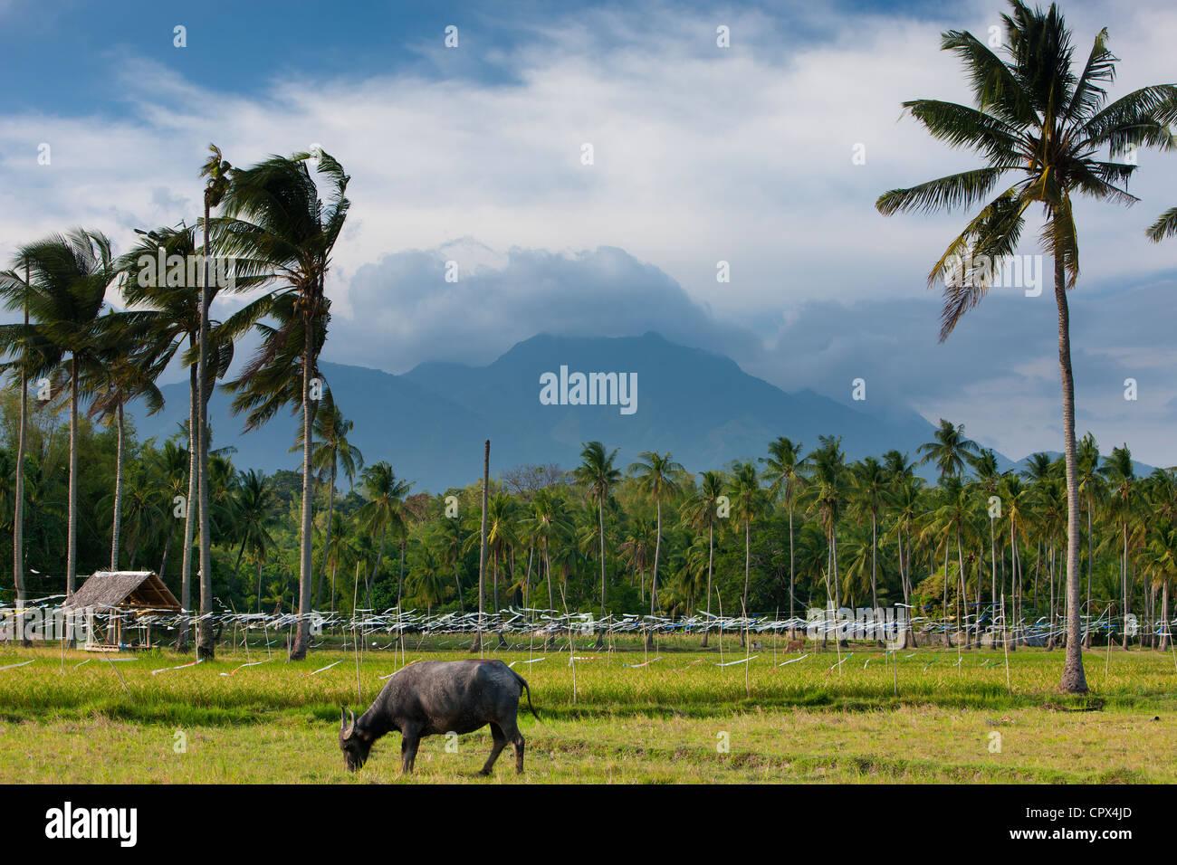 Un bufalo pascolano con campi di riso, palme e montagne, nr Malatapay, Negros, Filippine Immagini Stock