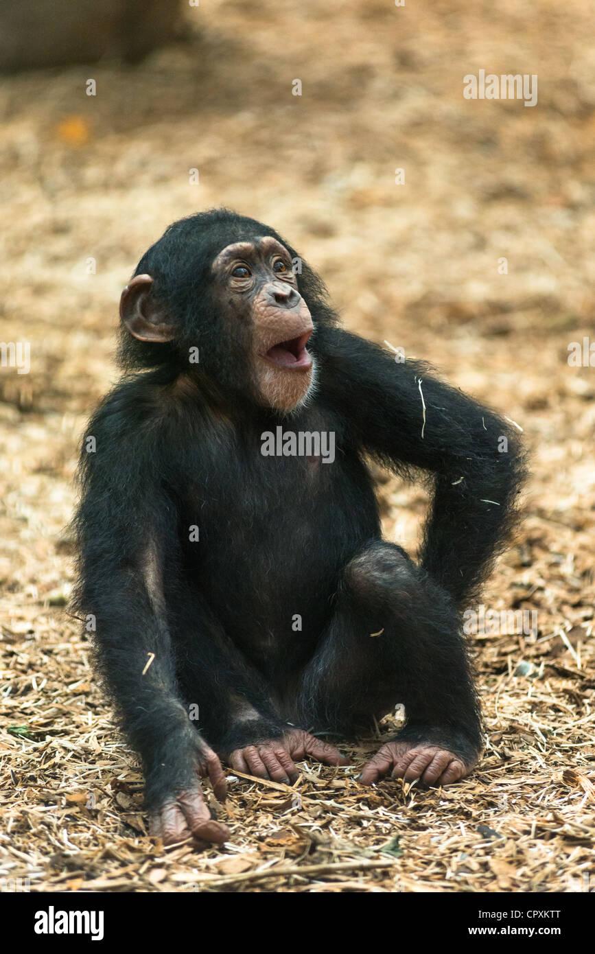 I giovani di uno scimpanzé (Pan troglodytes). Immagini Stock
