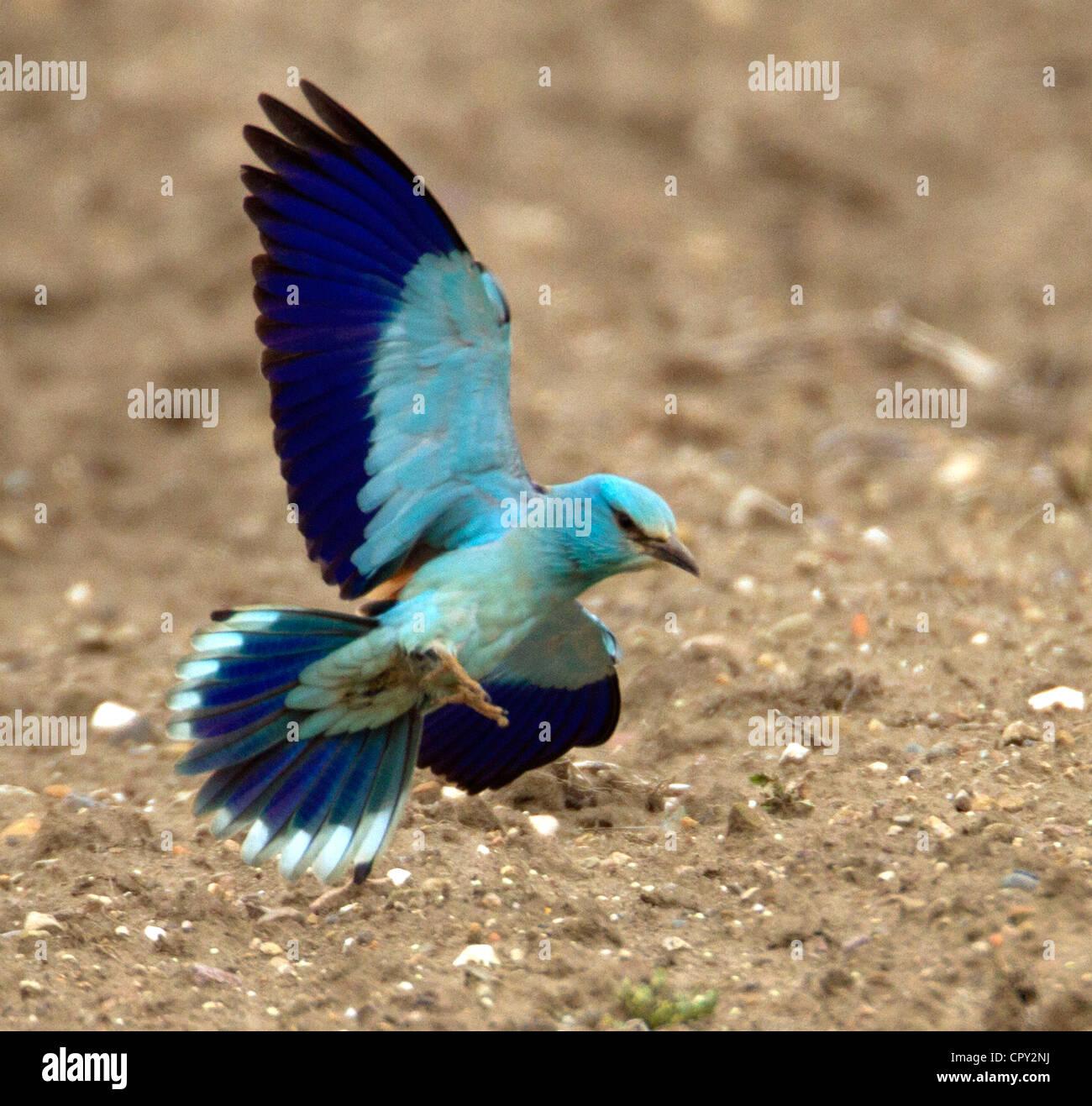 Rullo ( Coracias garrulus) Molto raro uccello di migranti. Era il SOLO NEL REGNO UNITO NEL 2012 Immagini Stock