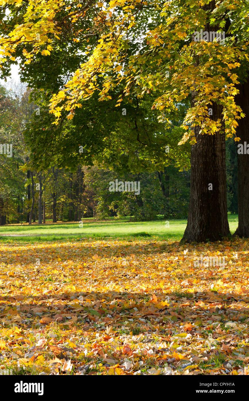 Il colorato paesaggio autunnale. Molti giallo foglie di acero sul terreno Immagini Stock