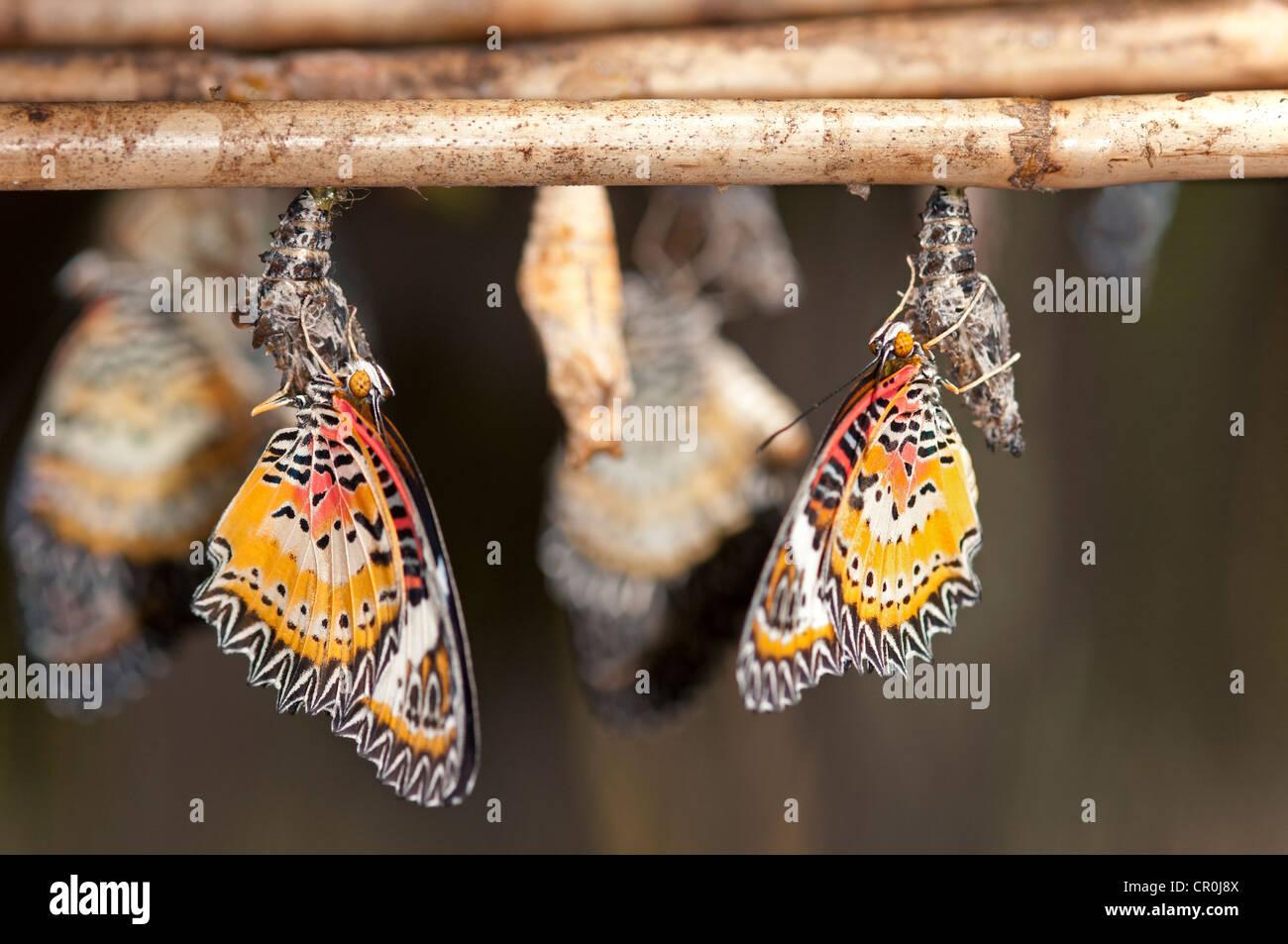 Sono emerse di recente le farfalle del genere Cethosia, Siem Reap, Cambogia, Asia sud-orientale, Asia Immagini Stock