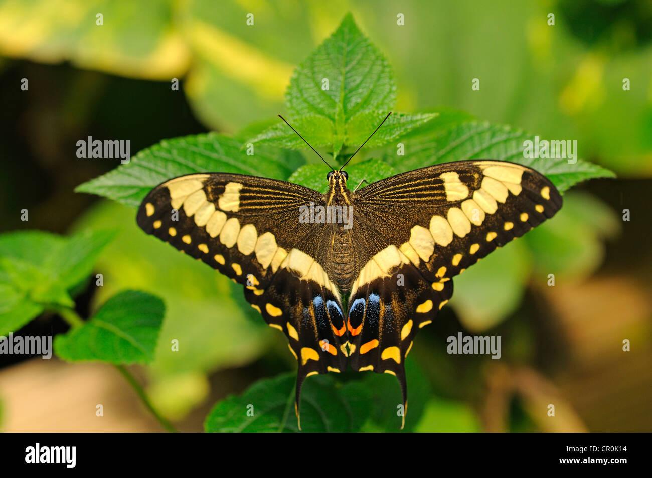 Calce comune farfalla o a coda di rondine di agrumi (Papilio demoleus), farfalle tropicali, Australia Immagini Stock