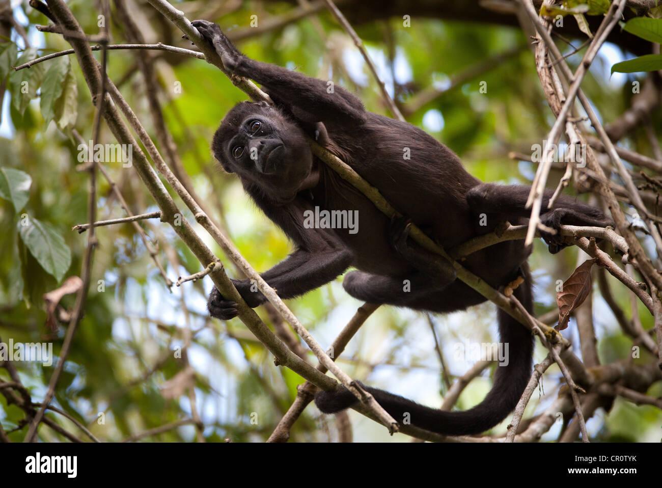 Mantled scimmia urlatrice, Alouatta palliata, nella foresta pluviale del Parco nazionale di Soberania, Repubblica Immagini Stock