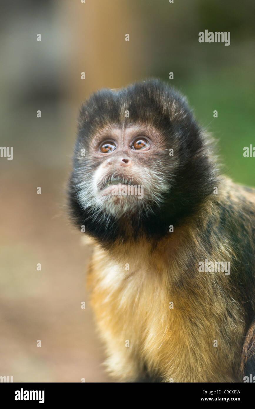 Tufted scimmia cappuccino (Sapajus apella). Immagini Stock