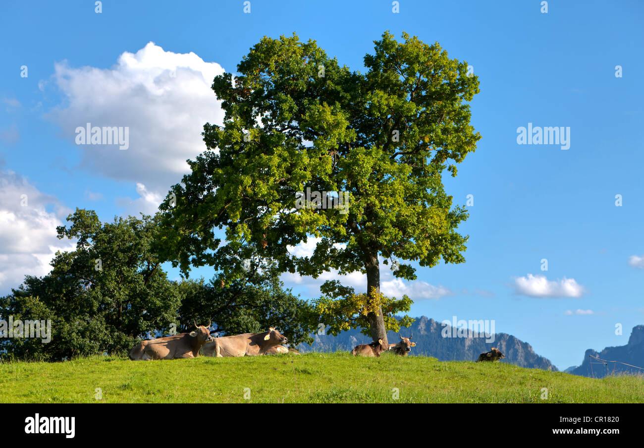 Vacche che giace sotto un albero nel sole del pomeriggio, il lago di Forggensee, Alta Baviera, Baviera, Germania, Immagini Stock