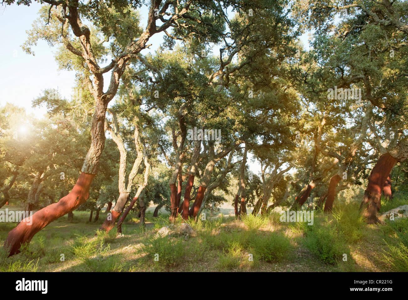 Spogliato alberi da sughero nella foresta di rurale Immagini Stock