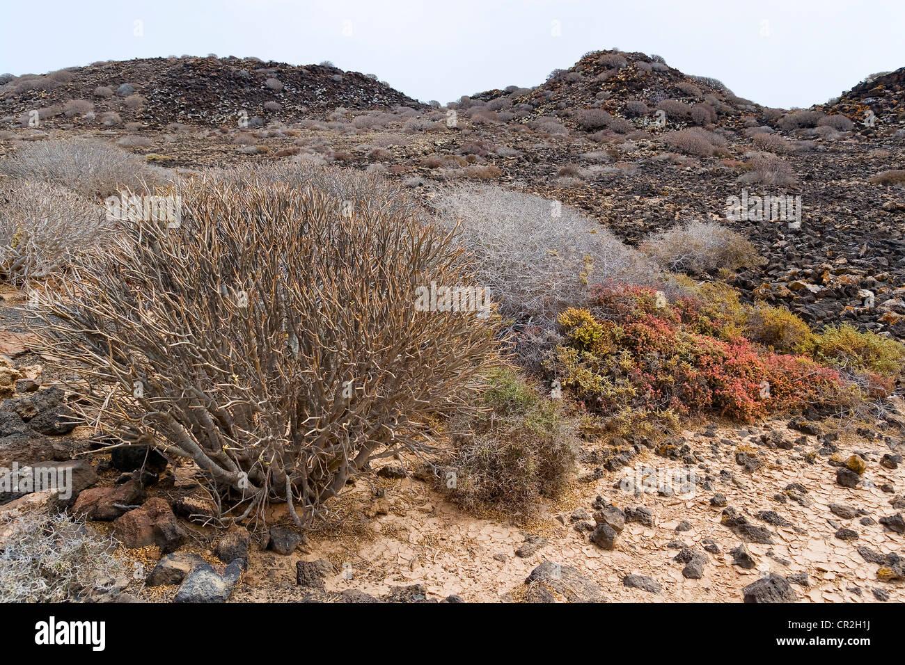 Fioritura di piante succulente nella isola di Lobos, Fuerteventura, Isole Canarie, Spagna Immagini Stock