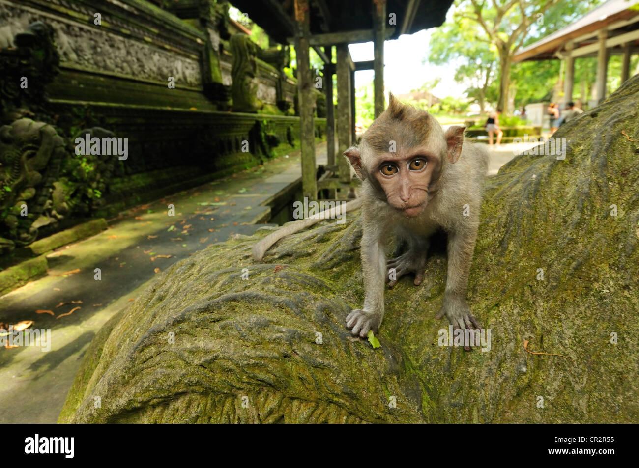 Lunga coda Macaque Macaca fascicularis, Cercopithecidae, Ubud Monkey Forest, Ubud, Bali, Indonesia, Asia Immagini Stock