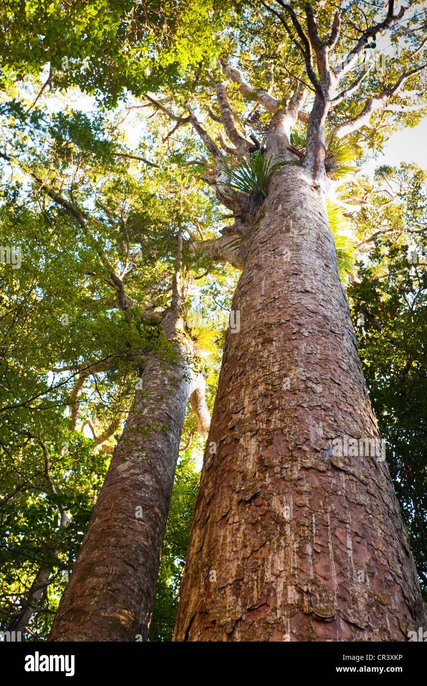 Questi incredibili, alberi antichi hanno molto radici poco profonde, facilmente danneggiato, il che significa che Immagini Stock