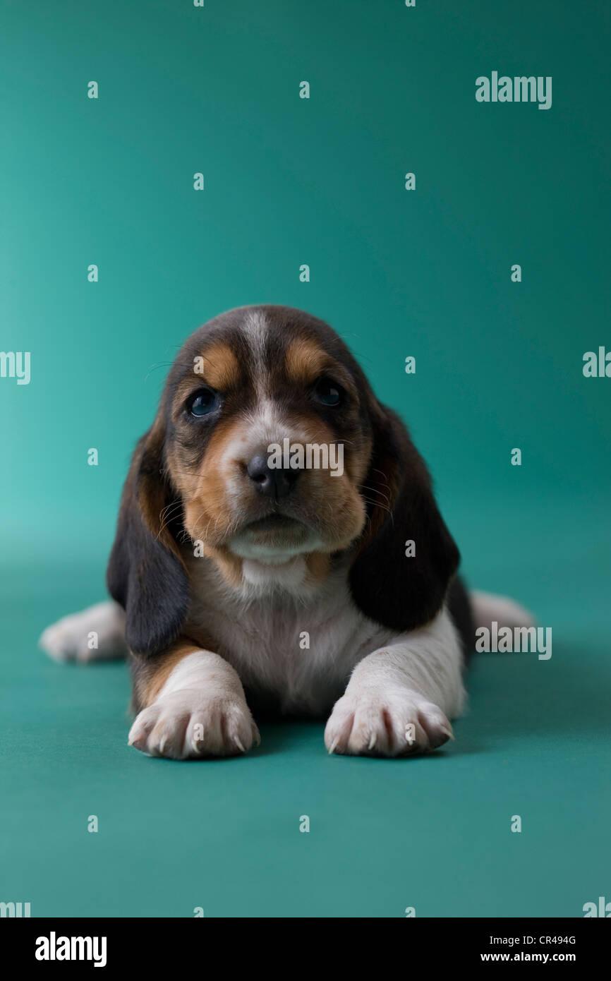 Basset Hound cucciolo Immagini Stock