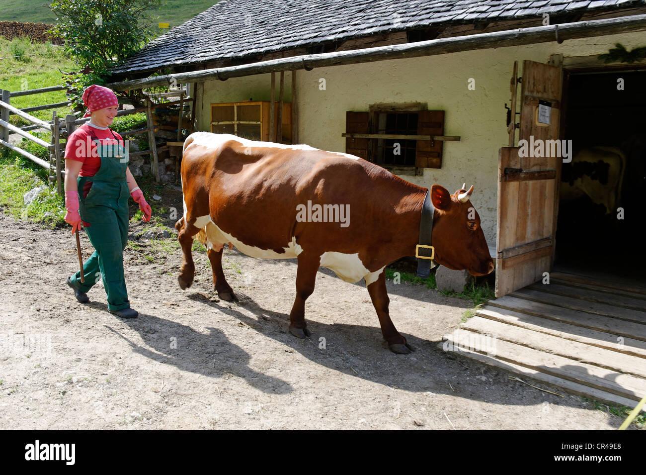Cameriera caseificio bestiame guida alla stabile su Halsalm, Parco Nazionale di Berchtesgaden, Hintersee, Berchtesgaden, Immagini Stock