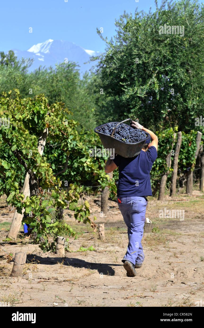 Picker durante la vendemmia delle uve Syrah sul Carinae vigneto di Maipú, provincia di Mendoza, Argentina, Immagini Stock