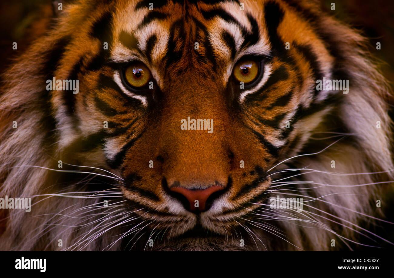 Fronte della tigre Immagini Stock