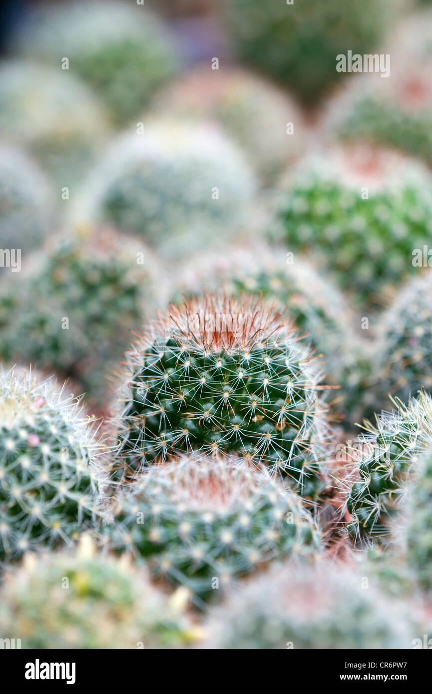 Cactus succulente pungenti piante verdi con spine Immagini Stock