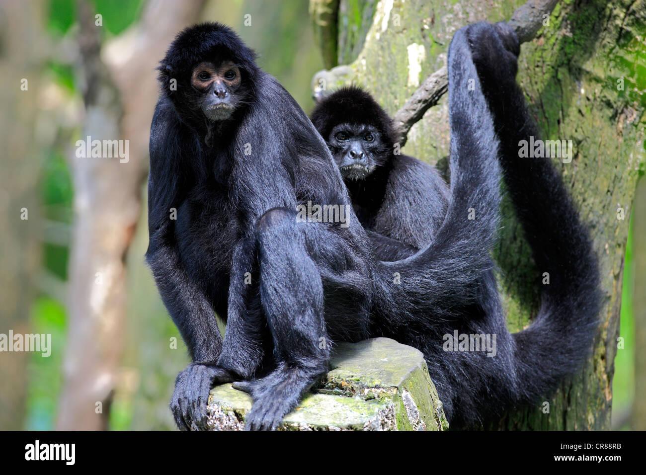 Guiana scimmie ragno o rosso-nero fronte scimmie ragno (Ateles paniscus), su albero, Singapore, Asia Immagini Stock