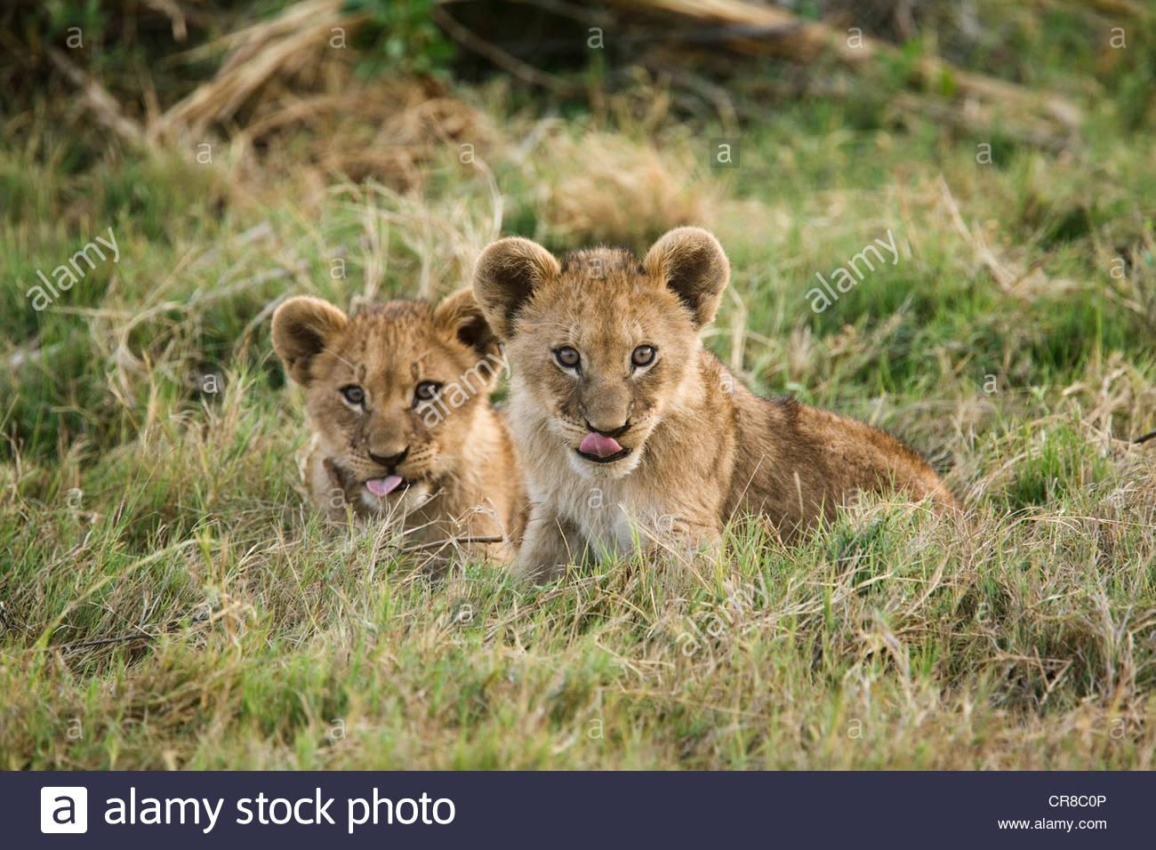 Una coppia di African Lion cubs leccare le labbra, il Botswana. Immagini Stock