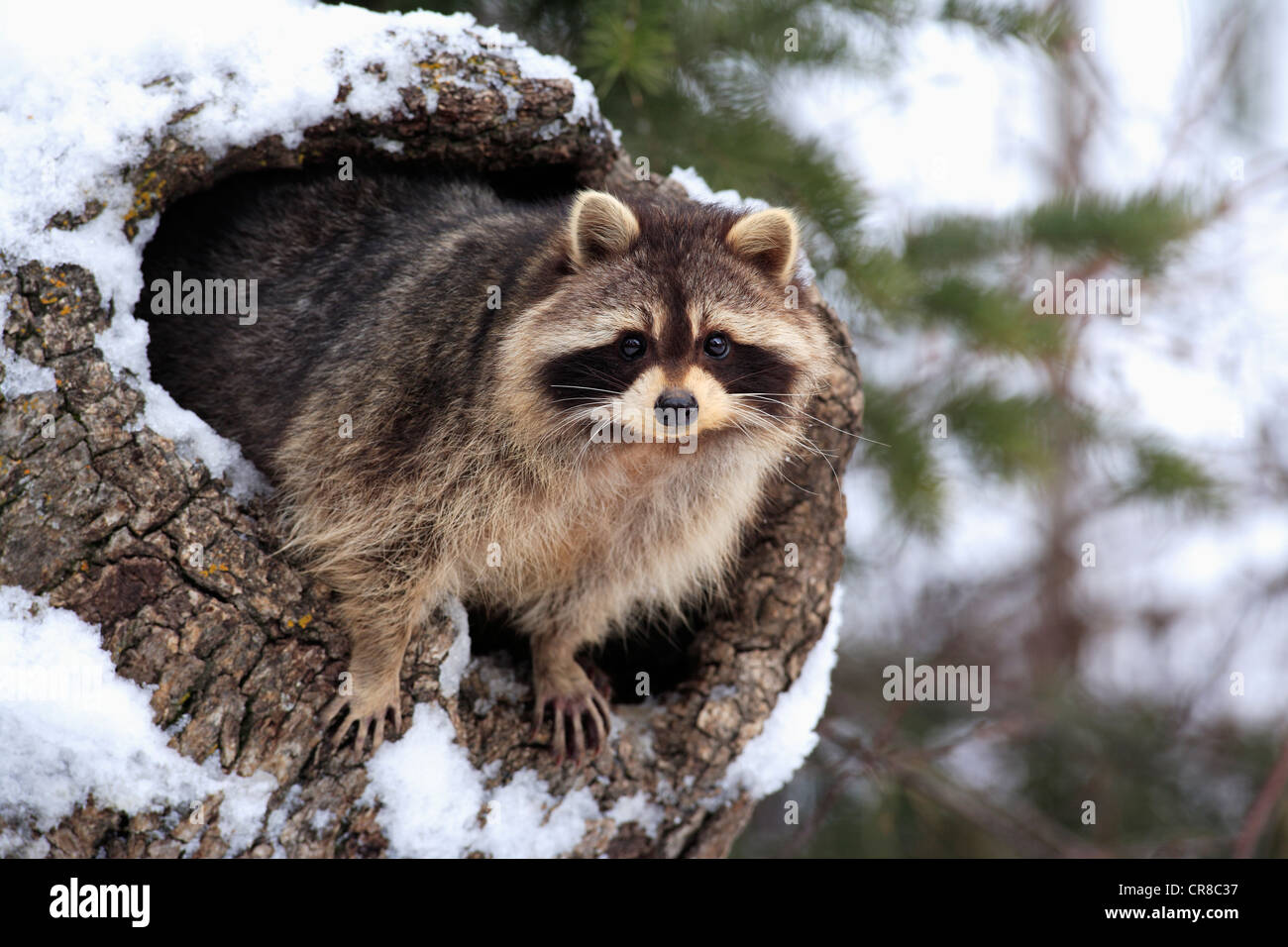 Raccoon (Procione lotor), neve, den, Montana, USA Immagini Stock