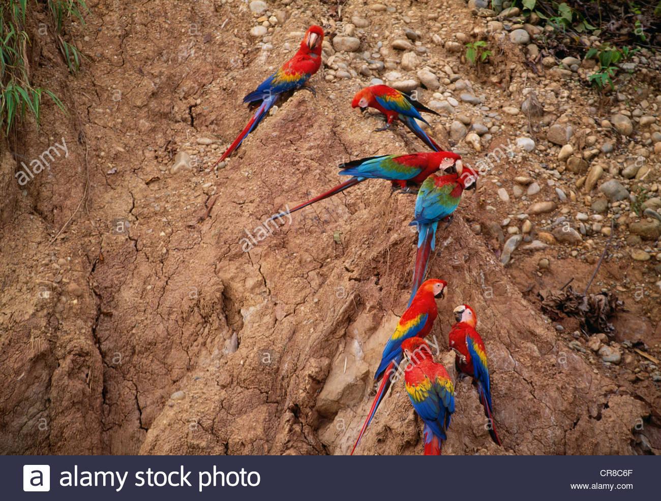 Scarlet & verde-winged macaws su leccare, fiume Tambopata regione, Perù Immagini Stock