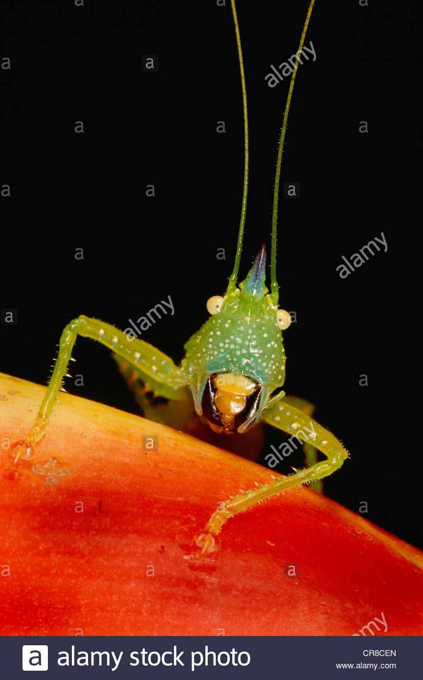 Il katydid, un tipo di grasshopper trovato nell'emisfero occidentale Immagini Stock