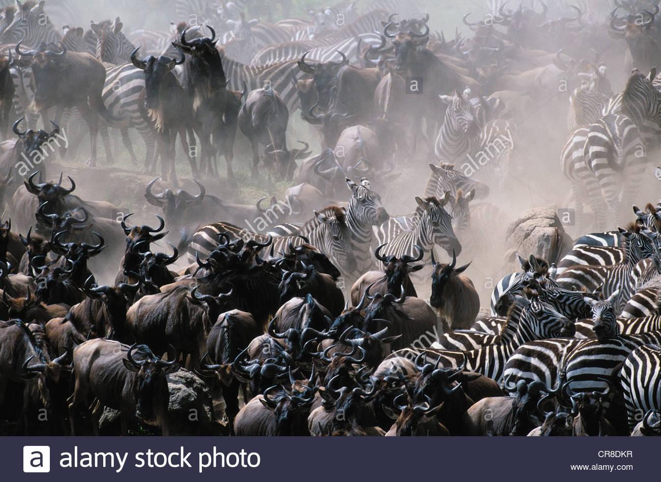Le pianure Zebra e comune Gnu mandrie, la Riserva Nazionale di Masai Mara, Kenya Immagini Stock