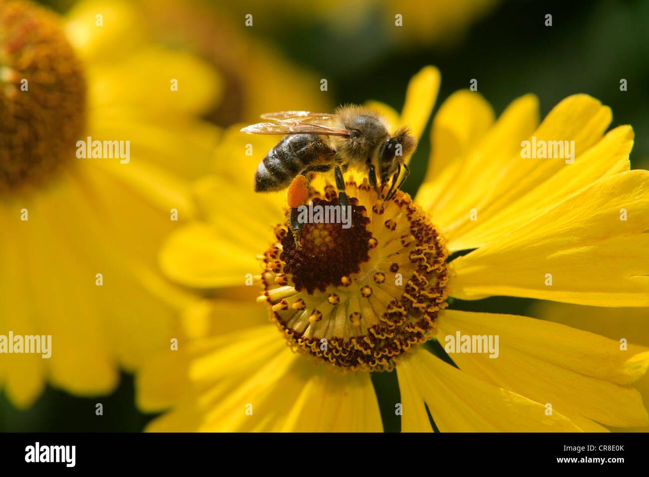 Il miele delle api (Apis mellifera), imago, raccogliendo il polline, Germania, Europa Immagini Stock