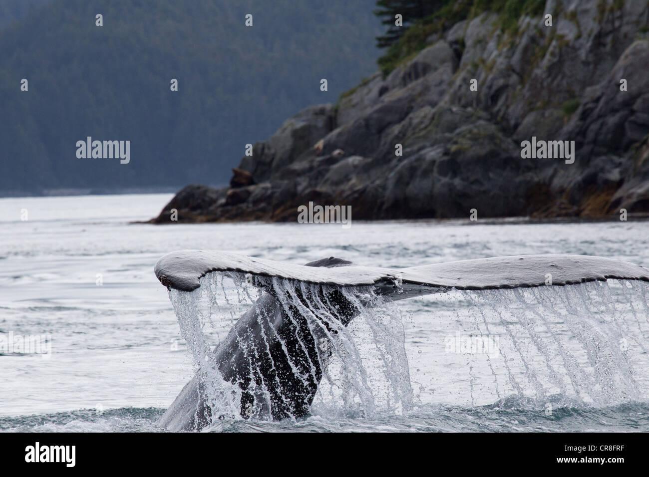 Coda di Humpback Whale Foto Stock