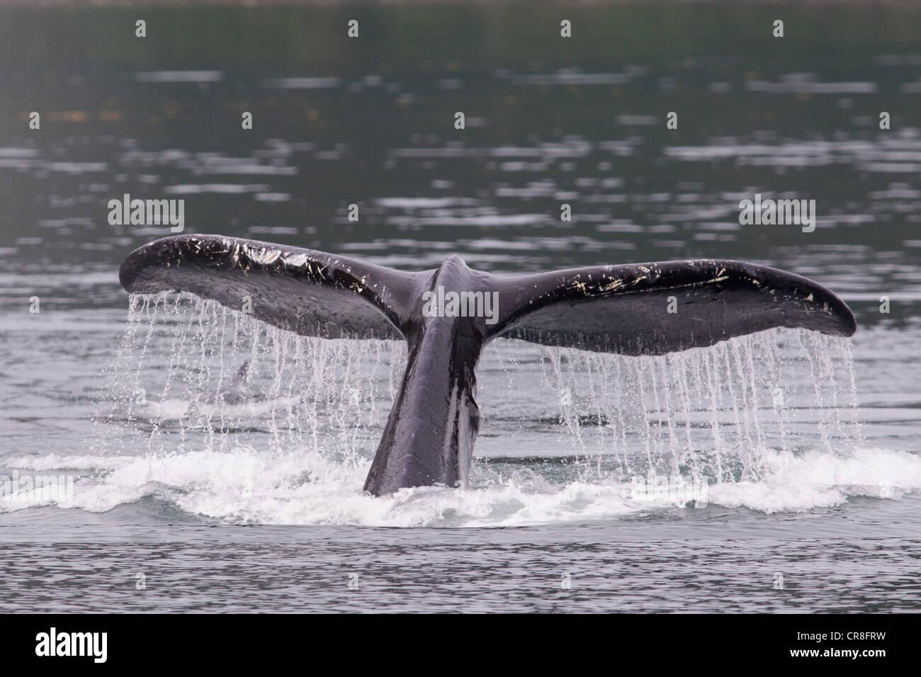 Coda di Humpback Whale Immagini Stock