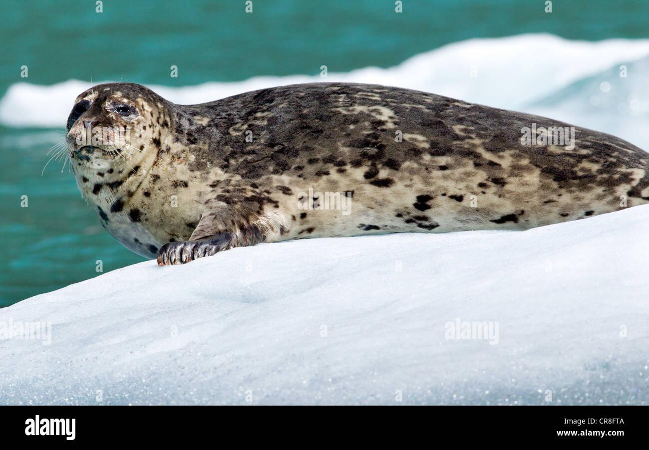 La fauna selvatica nei pressi di Tracy ghiacciaio del braccio Immagini Stock