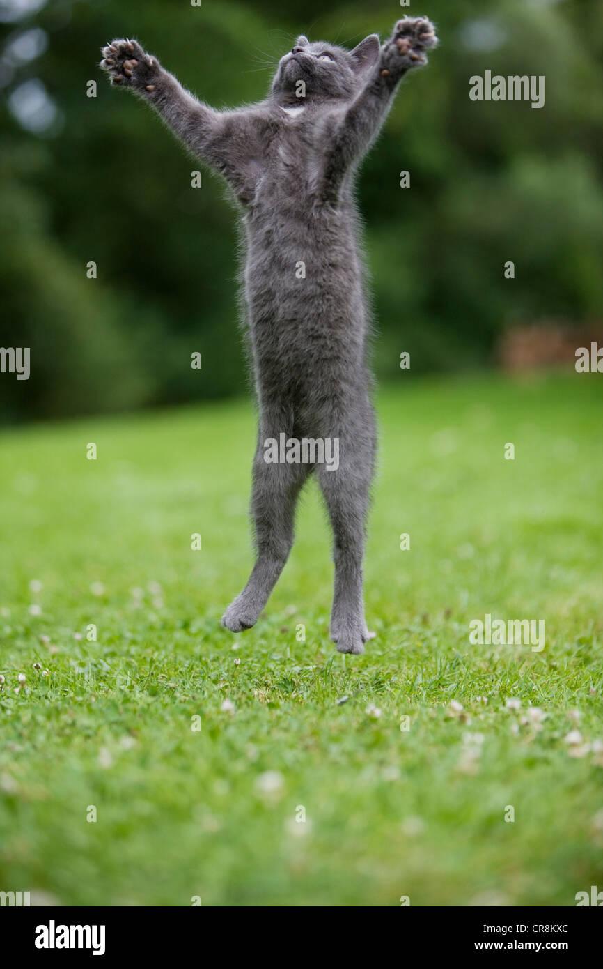 Gatto grigio jumping a metà in aria Immagini Stock