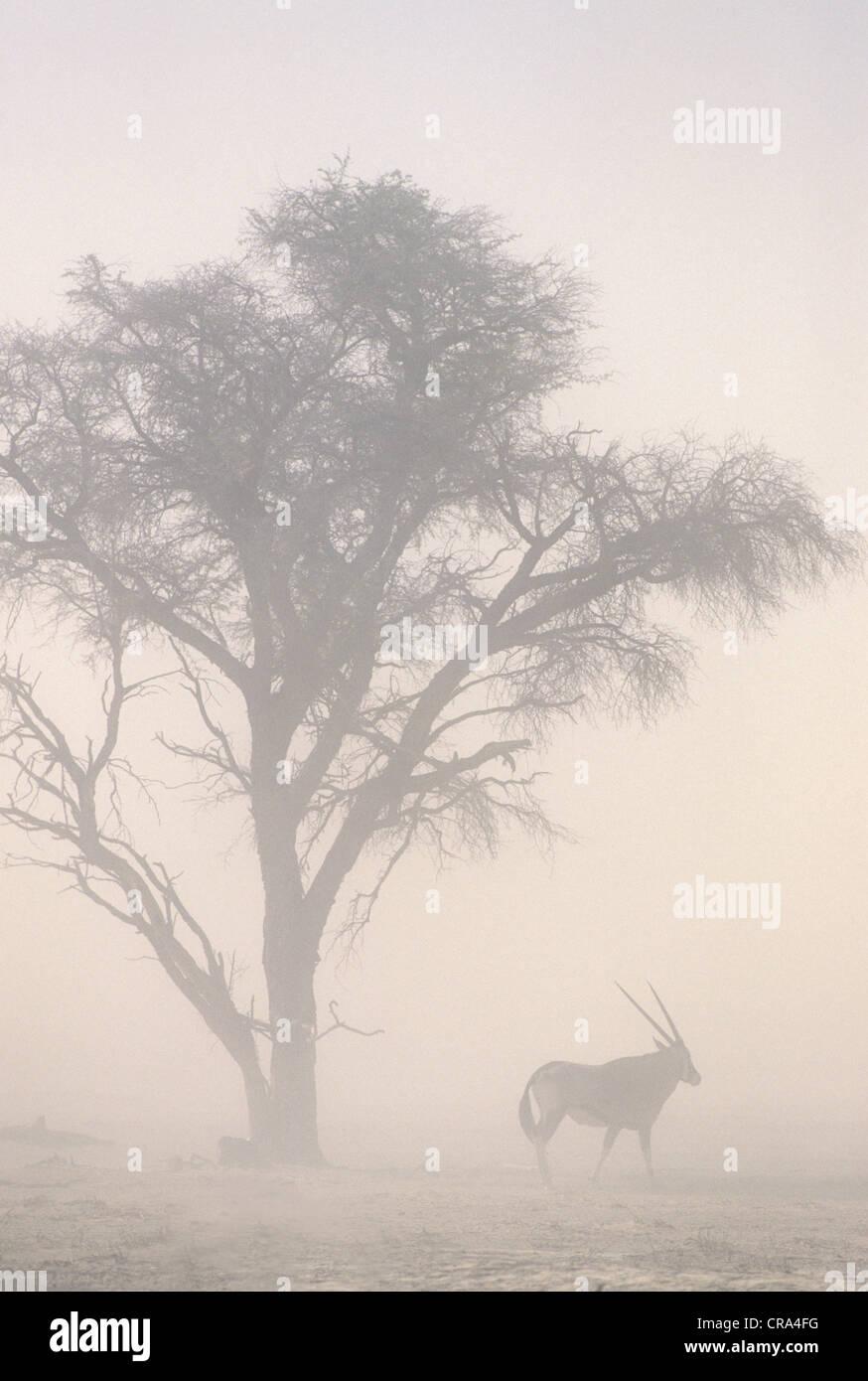 Il riscaldamento globale, la tempesta di sabbia e gemsbok a 45c temperature, kgalagadi parco transfrontaliero, sud Immagini Stock
