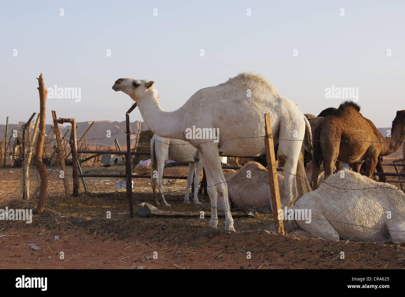 Alcuni cammelli nei loro penna nel tardo pomeriggio di sole al Red Sands, Riyadh, Regno di Arabia Saudita Immagini Stock