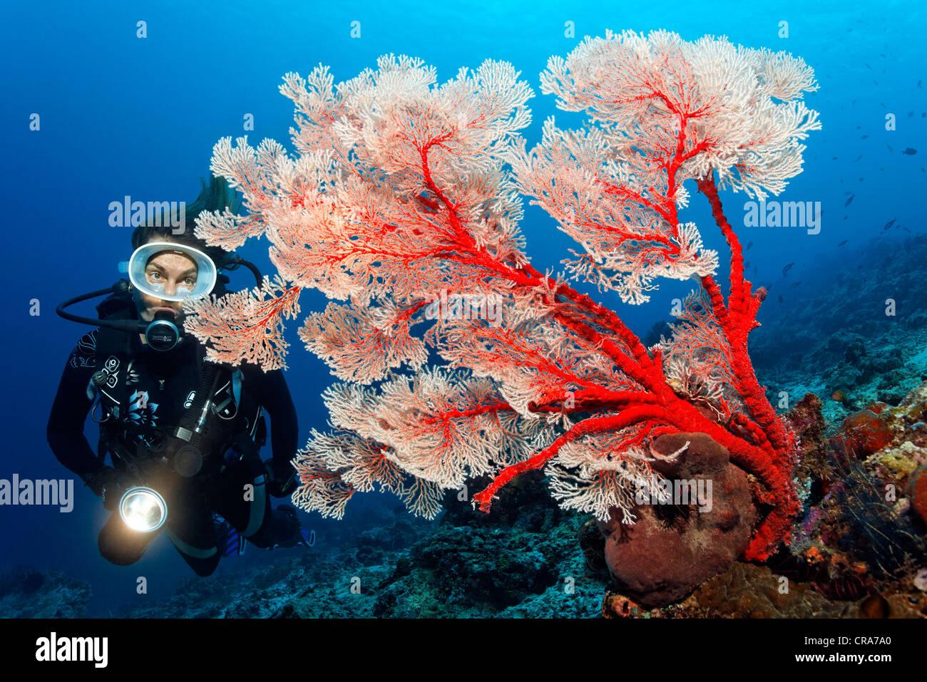 Subacqueo con torcia guardando una gorgonia Melithea Coral (Melithea sp.) al Coral reef, della Grande Barriera Corallina Immagini Stock