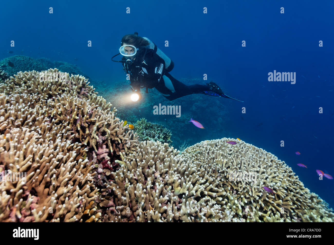 Subacqueo con torcia guardando al Coral reef di corallo del dito (Porites attenuata), la Grande Barriera Corallina Immagini Stock